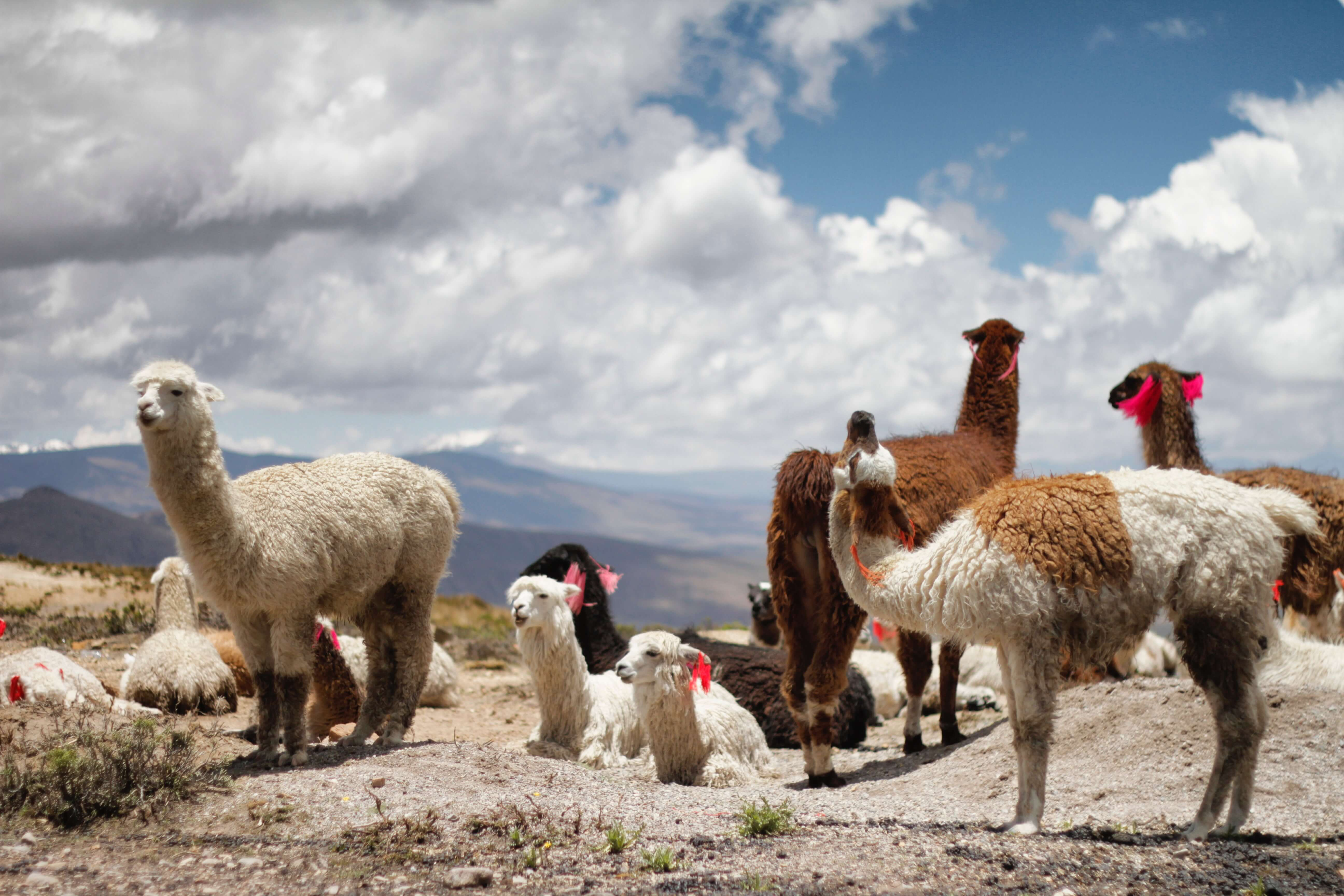 Antibodies from llamas can be used for therapeutics