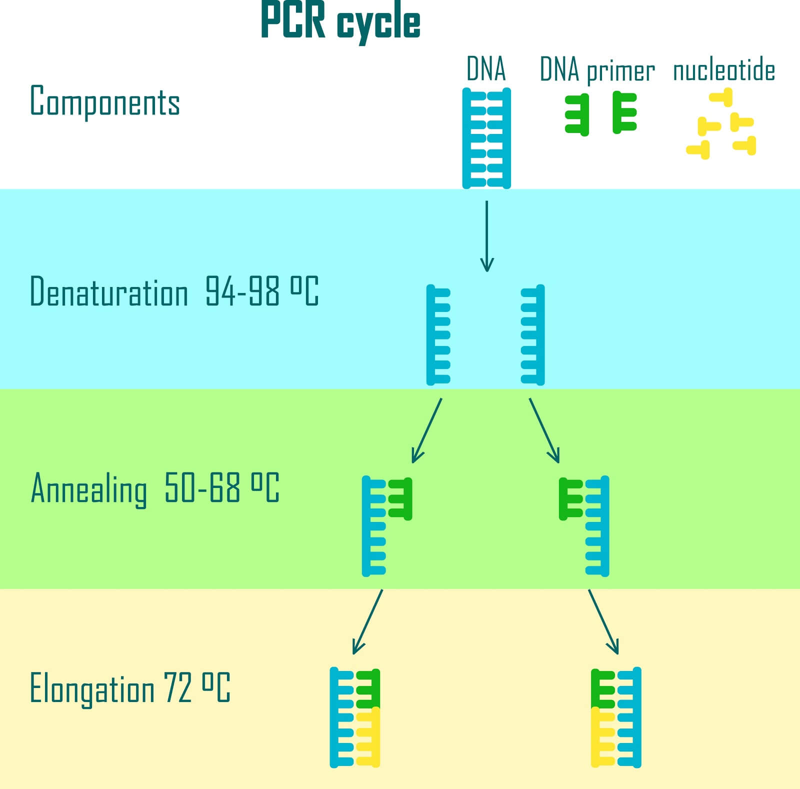 The polymerase chain reaction an is incredibly simple way of amplifying DNA. It is now being used to generate RAM-like data storage in DNA.