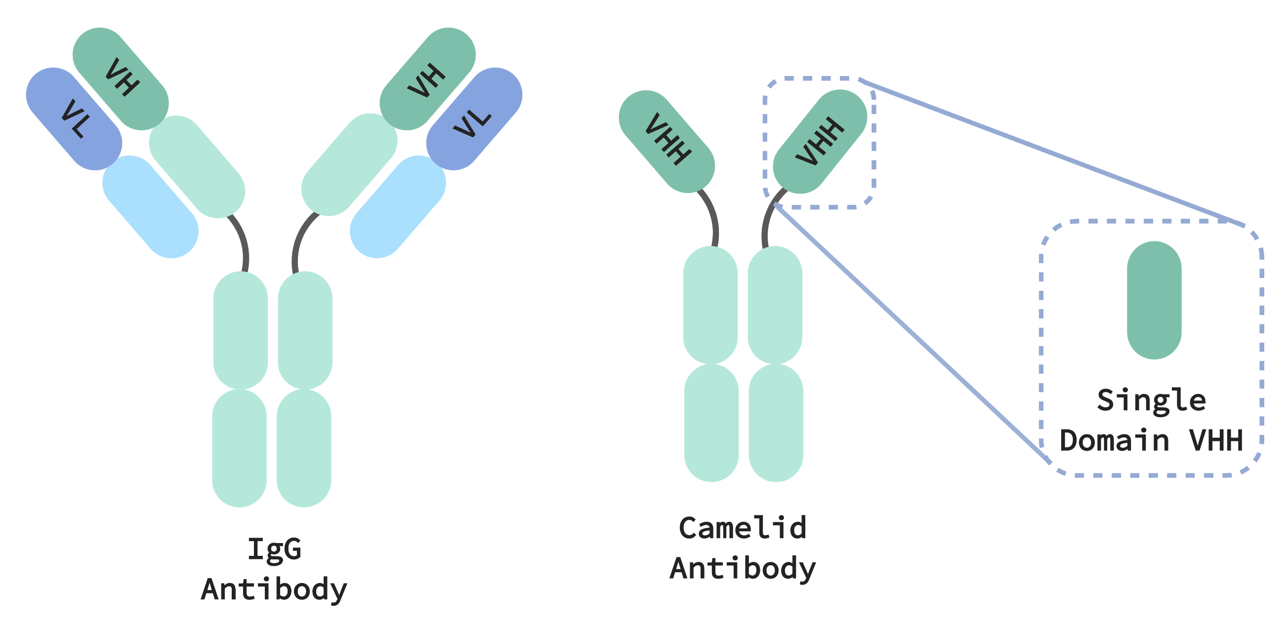 Camelid antibodies are smaller than IgG